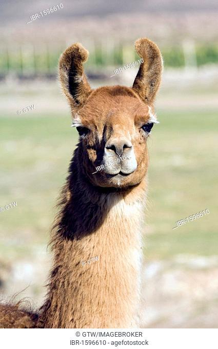 Llama (Lama glama), portrait, San Juan, Potosi, Bolivia, South America
