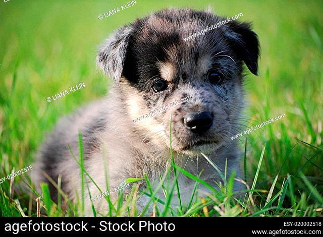 Husky- Australian Shepherd- Mischling