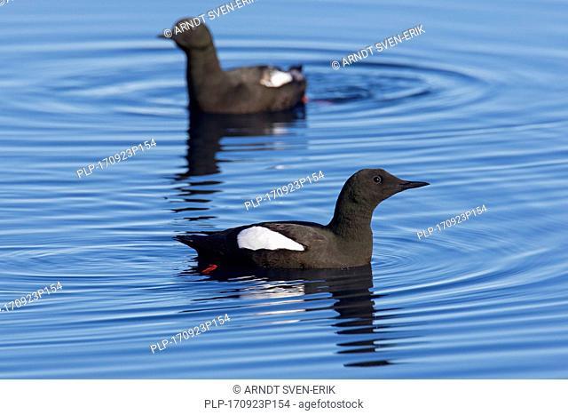 Two black guillemots / tysties (Cepphus grylle) in breeding plumage swimming in sea