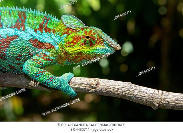 Panther chameleon (Furcifer pardalis), male, Ambanja, northwestern Madagascar, Madagascar