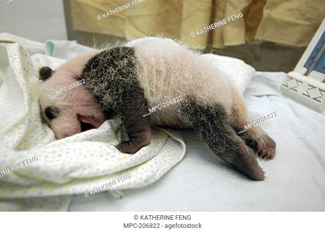 Giant Panda Ailuropoda melanoleuca, endangered, baby in nursery at the China Conservation and Research Center for the Giant Panda, Wolong Nature Reserve, China