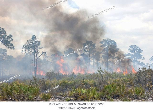 A prescribed fire burns in the pine flatwoods of Highlands Hammock State Park in Sebring, Florida. Prescribed burns are used periodically to keep invasive...