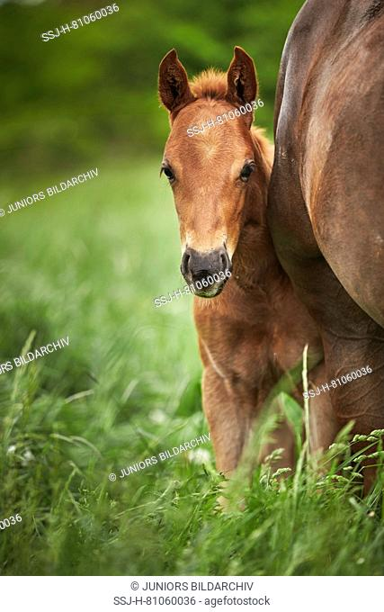 American Quarter Horse. Chestnut foal standing next to its mother on a meadow. Germany