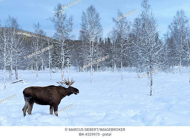 Moose (Alces alces) in snow, captive, Trones, Norway