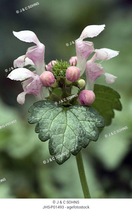 White Deadnettle Lamium album Germany Europe