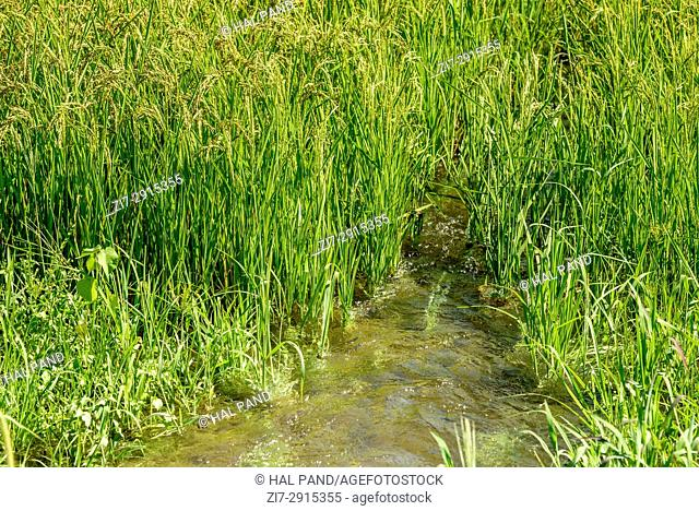 detail of water flowing among green Oryza panicles and plants at flooded cultivation field, shot in a bright summer day in Ticino park near Besate, Milan