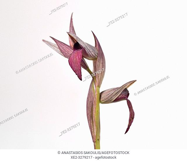 Serapias sp. orchid, Crete