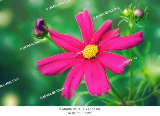 Cosmos flowers. Cosmos bipinnatus. June 2006. Maryland, USA