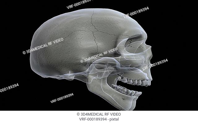 Animation depicting a rotation of the skull as it fades back and forth between a solid and an x-ray look