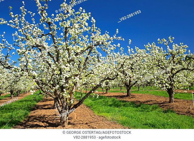 Pear orchard in bloom, Hood River County, Oregon