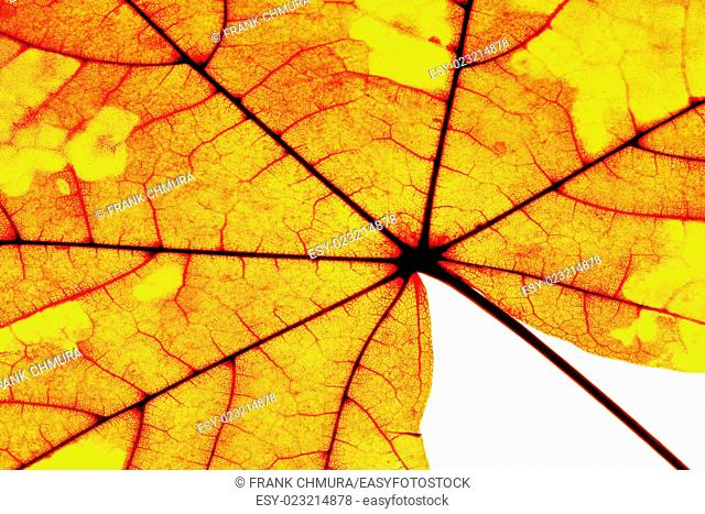 Extreme Closeup of Autumn Leaf - Isolated on White
