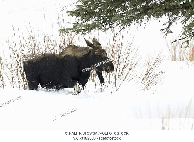 Moose ( Alces alces ) in winter, young bull, lost antlers, roaming through its typical habitat, walking through deep snow, Yellowstone NP, USA.