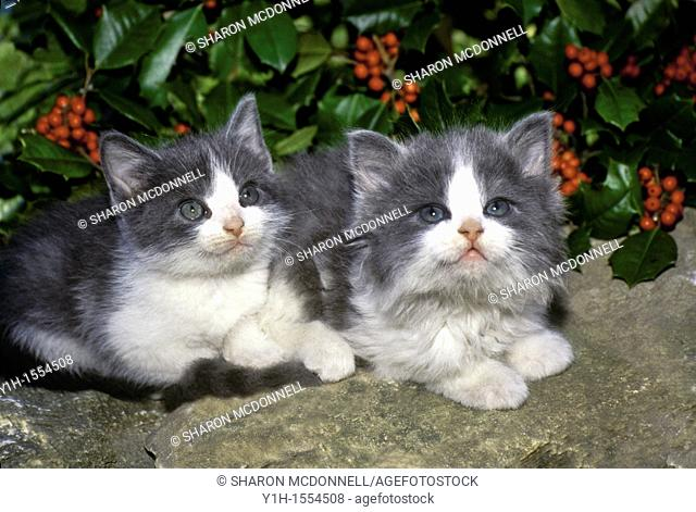 Two grey and white kittens sitting close together on a rock wall in front of holly a holly bush both looking up expectantly