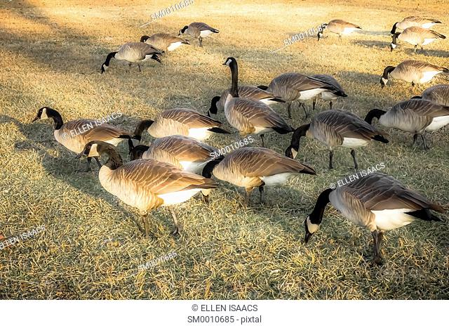 Flock of geese feeding in a field with one goose looking up, protecting the flock from danger