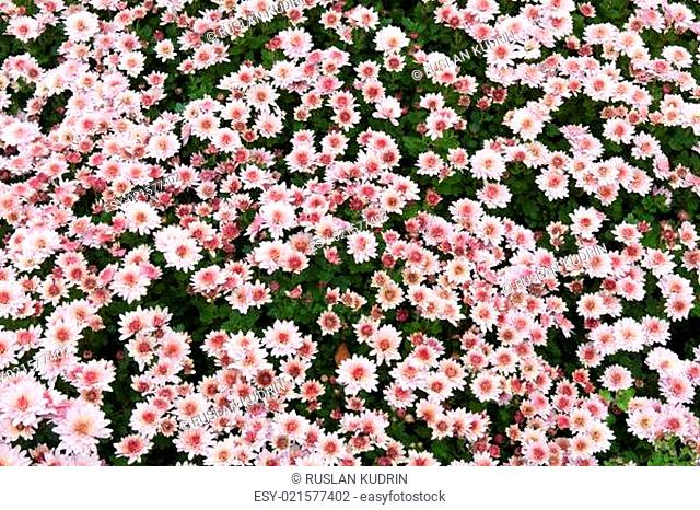 Background from chrysanthemums