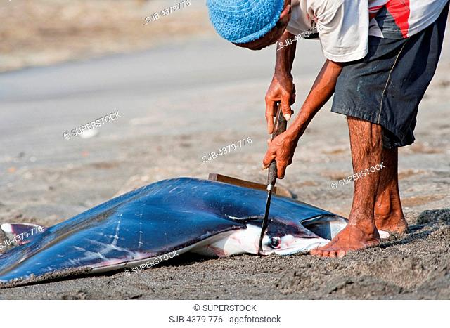 A man butchering a dead devilray Mobula japanica, dragged onto beach in Lamalera, Lembata Island, Eastern Indonesia