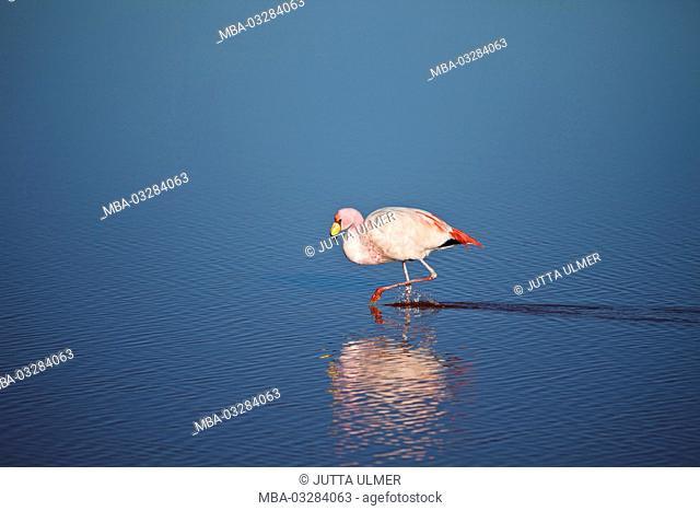 Bolivia, Los Lipez, Laguna Colorada, Andean flamingo