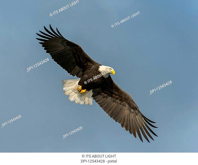 Bald eagle (Haliaeetus leucocephalus) in flight with wings spread in a blue sky; Homer, Alaska, United States of America