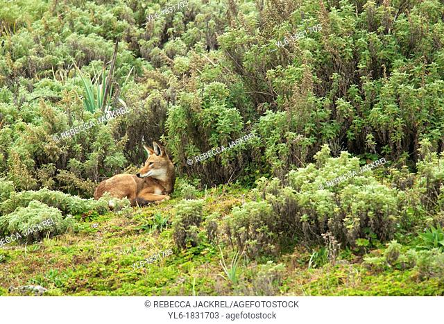 An Ethiopian wolf takes snactuary from the element amid the afroalpine shrubs