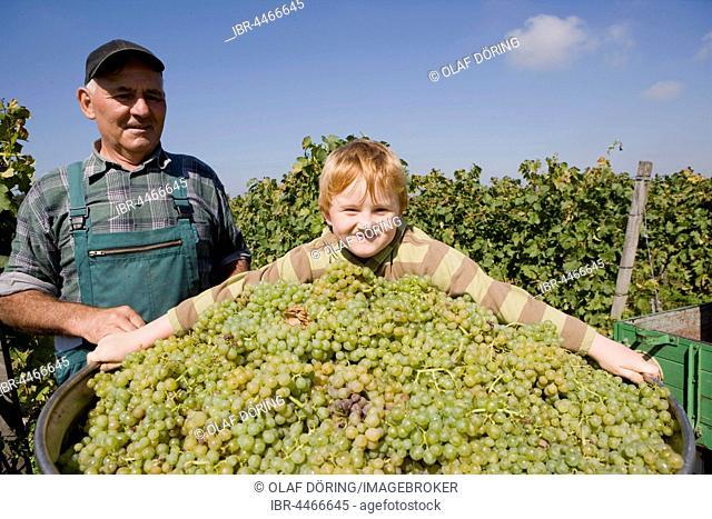 Grandpa with grandchildren picking grapes, Kaiserstuhl, Kiechlinsbergen, Baden-Wuertemberg, Germany