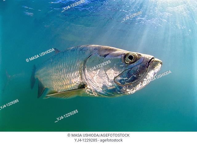 Atlantic tarpon, Megalops atlanticus, grows up to 2 m 6 6 ft in length and could weigh 160 kg 350 lb, Islamorada, Florida Keys National Marine Sanctuary, USA