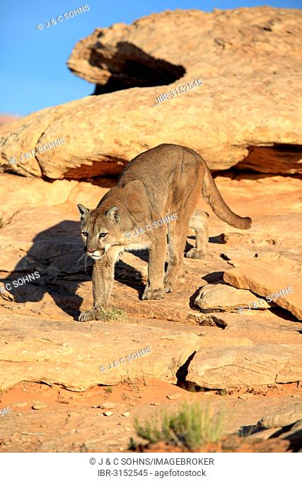 Cougar, Puma or Mountain Lion (Puma concolor), searching for prey, stalking, Utah, United States