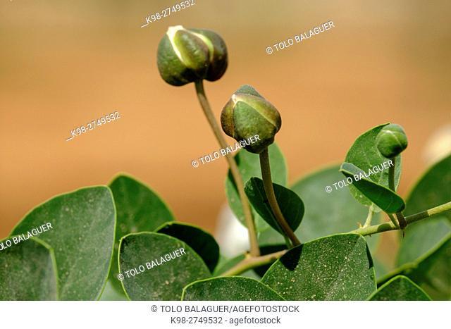 alcaparra en flor, Capparis spinosa, Campos, Majorca, Balearic Islands, Spain