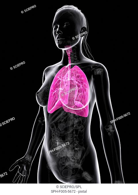 Healthy lungs, computer artwork