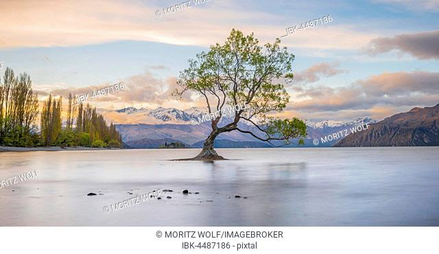 Sunrise, single tree standing in water, Lake Wanaka, The Wanaka Tree, Roys Bay, Otago, Southland, New Zealand