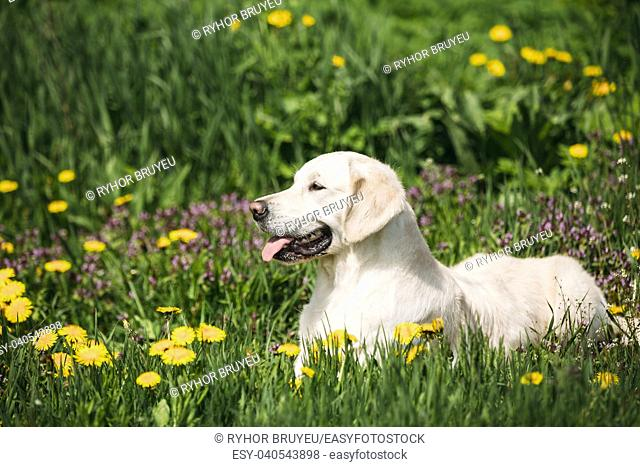 White Obedient Funny Young Happy Labrador Retriever Sitting In Grass And In Yellow Dandelions Outdoor. Spring Season