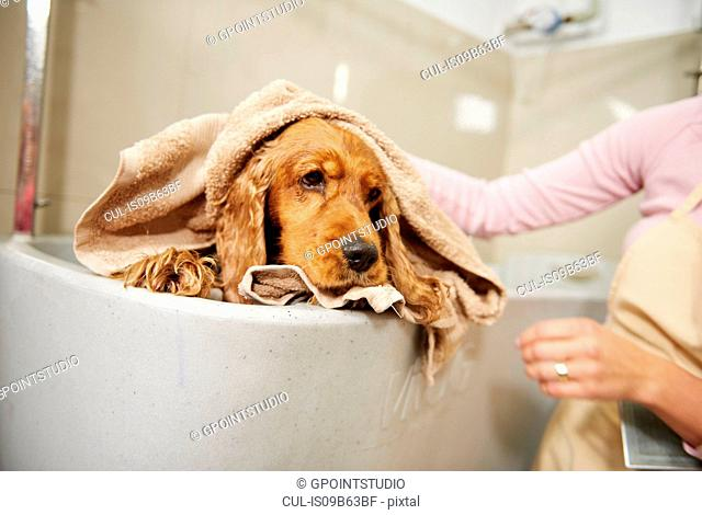 Hands of female groomer drying cocker spaniel in bath at dog grooming salon