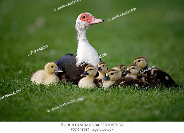 Muscovy Duck with Young (Cairina moschata) - England - UK - Originated in South America