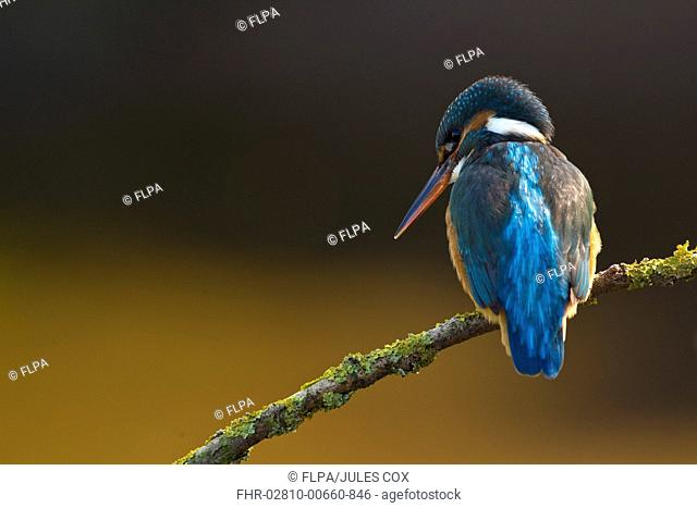 Common Kingfisher Alcedo atthis adult female, perched on lichen covered branch, Worcestershire, England, april