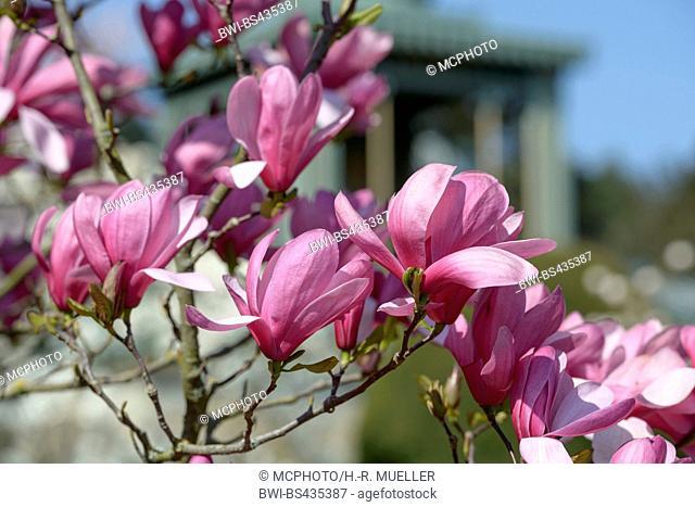 magnolia (Magnolia 'Galaxy', Magnolia Galaxy), cultivar Galaxy