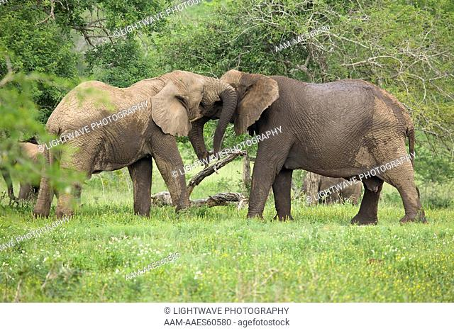 South African Elephants (Loxodonta africana) Umfolozi Game Reserve, South Africa