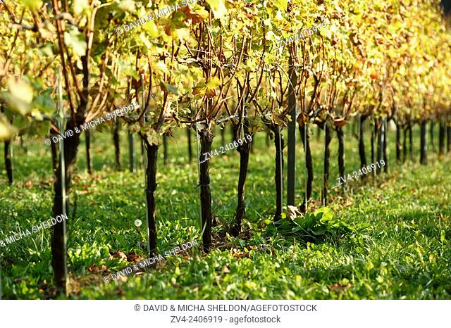 Landscape of a vine yard on a sunny day in autumn