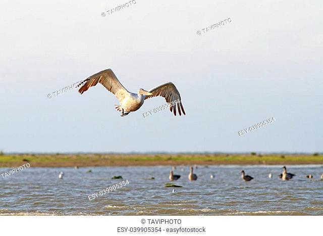 great pelican ( pelecanus onocrotalus ) flying over water swamps