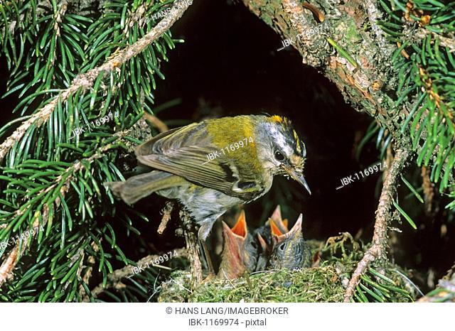 Firecrest (Regulus ignicapillus) with chicks at the nest