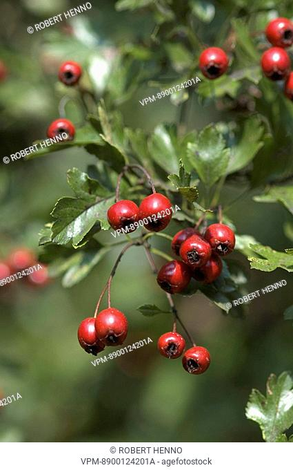 CRATAEGUS MONOGYNAHAWTHORN - COMMON HAWTHORNBERRIES