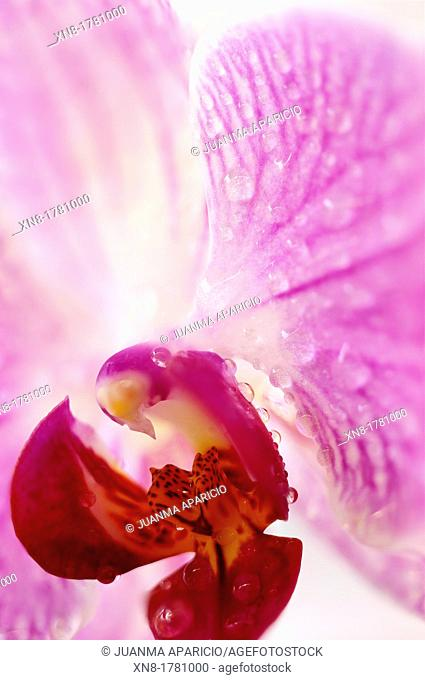 Close-up of pink Orchid with drops of water