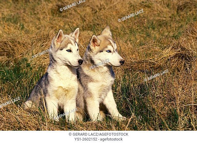 Siberian Husky, Puppies sitting on Grass
