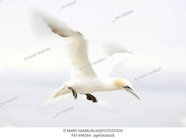 Northern Gannet Sula bassana adult in flight preparing to land  Scotland  August 2007