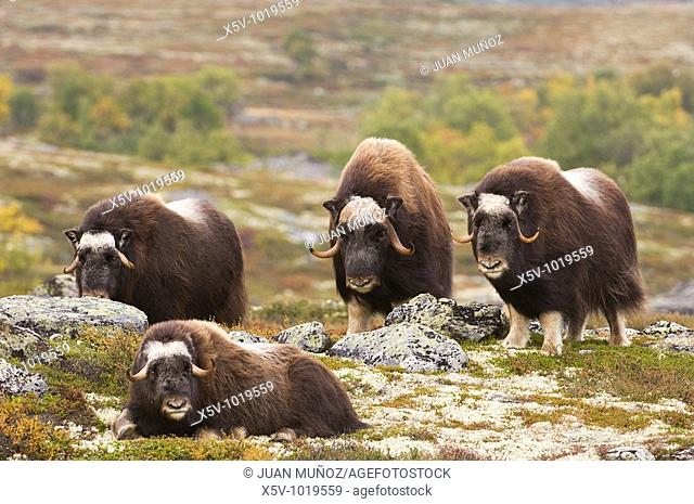 Family muskoxen expectantly. Dovrefjell National Park. Norway. Europe