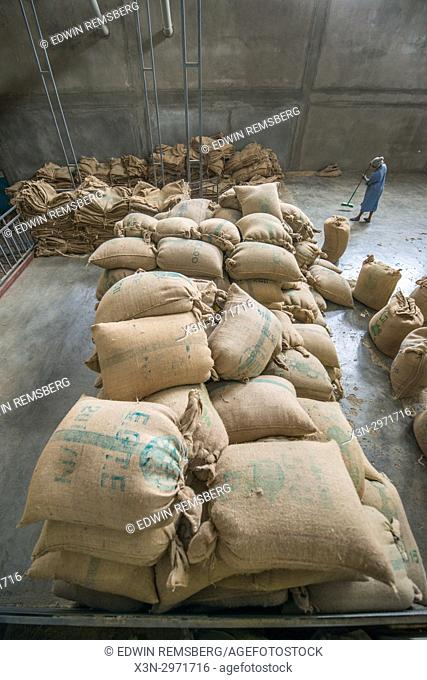 Addis Ababa, Ethiopia - Ethiopian female worker sweeping up stray arabica coffee beans next to hundreds of bags of beans ready for export at Oromia Coffee...