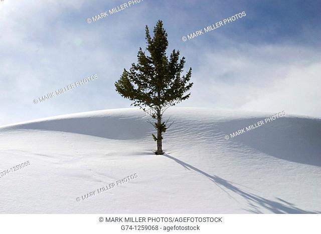 Lone Tree in Winter Yellowstone National Park USA