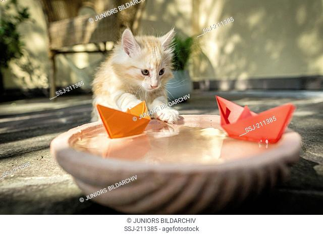 Norwegian Forest Cat. Kitten playing with paper boats on a water bowl. Germany. Restriction: Not for guidebooks for pet care until 9/2018