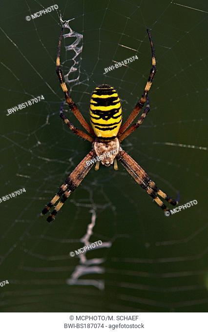 black-and-yellow argiope, black-and-yellow garden spider (Argiope bruennichi), in spiderweb, Germany, Rhineland-Palatinate