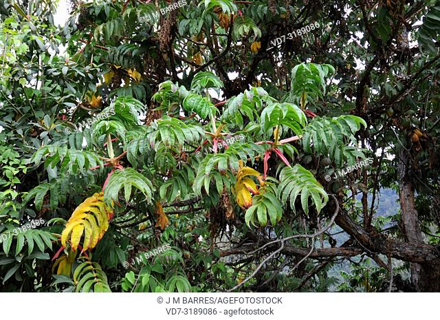 African redwood or African rosewood (Hagenia abyssinica) is a medicinal tree native to central and eastern Africa mountains. Leaves detail