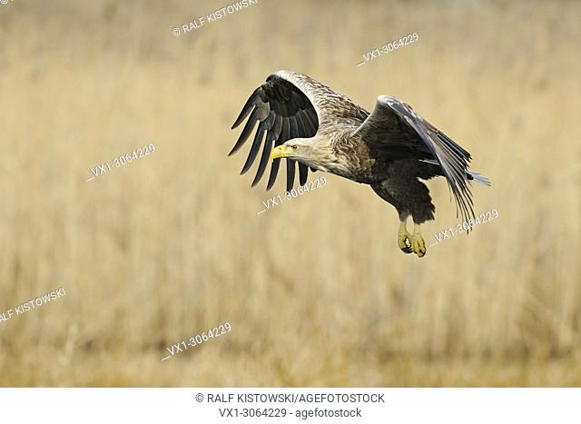 White-tailed Eagle / Sea Eagle ( Haliaeetus albicilla ) flying, wide open wings, surrounded by golden reed, wildlife, Europe. .