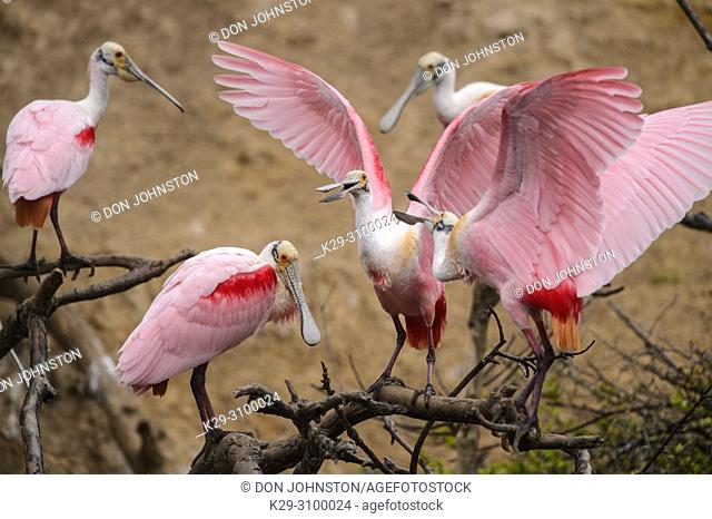 Roseate spoonbill (Ajaia ajaja), Smith Oaks Audubon rookery, High Island, Texas, USA